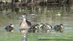 Wood Duck Hen Adult Chicks Family Summer Stock Footage