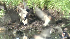 Cliff Swallow Flock Summer Mud Collecting Nest Building - stock footage