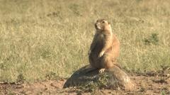 Black-tailed Prairie Dog Winter Stock Footage