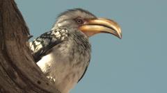 Southern Yellow-billed Hornbill Winter Kalahari Stock Footage