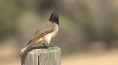 Songbird Kgadagali Transfrontier Park Winter Kalahari Stock Footage