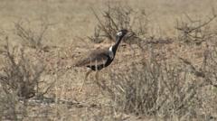 White-quilled Korhaan Lone Walking Winter Kalahari Northern Black - stock footage
