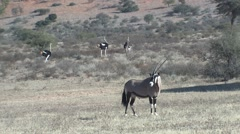 Gemsbok Adult Lone Standing Winter Oryx Stock Footage