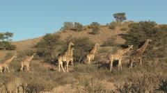 Giraffe Adult Young Herd Winter Kalahari Stock Footage
