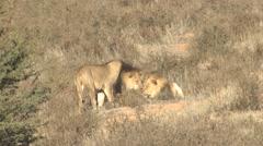 African Lion Male Adult Pair Winter Kalahari Stock Footage