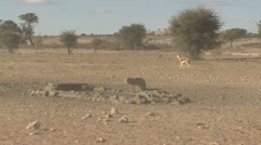 Jackal Drinking Winter Kalahari - stock footage