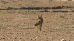 Jackal Lone Running Winter Kalahari Stock Footage