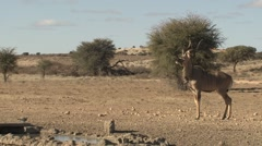 Stock Video Footage of Kudu Adult Lone Running Winter Kalahari