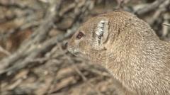 Yellow Mongoose Winter Kalahari - stock footage