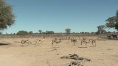 Springbok Herd Walking Winter Kalahari Stock Footage