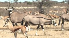 Gemsbok Adult Several Winter Oryx Wilderbeest Stock Footage