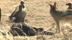 Jackal Feeding Winter Kalahari Carrion Stock Footage