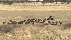 Bearded Vulture Flock Winter Kalahari Stock Footage