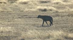 Spotted Hyena Lone Winter Kalahari Stock Footage