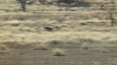 Lappetfaced Vulture Several Flying Winter Kalahari Stock Footage