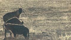Spotted Hyena Winter Kalahari Stock Footage