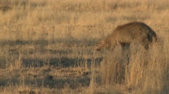 Bat-eared Fox Winter Kalahari Stock Footage