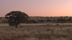 Stock Video Footage of Kudu Herd Walking Winter Sunset Kalahari