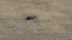 Honey Badger Winter Kalahari - stock footage