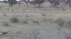 Caracal Lone Walking Winter Dusk Kalahari Stock Footage
