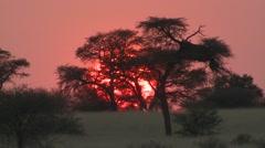 Savannah Kgadagali Transfrontier Park Winter Sunrise Kalahari Stock Footage