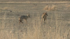 Jackal Pair Fighting Winter Kalahari Submission - stock footage