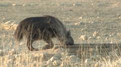 Brown Hyena Winter Kalahari Stock Footage