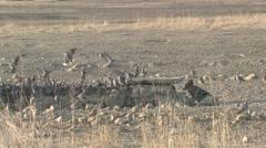 Jackal Lone Hunting Winter Kalahari Stock Footage