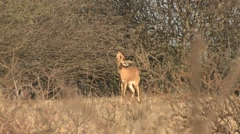 Ungulate Kgadagali Transfrontier Park Lone Feeding Winter Kalahari Browsing Stock Footage