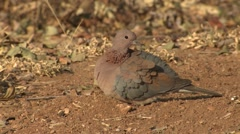 Laughing Dove Lone Winter Stock Footage
