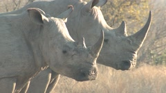 White Rhinoceros Pair Winter Stock Footage