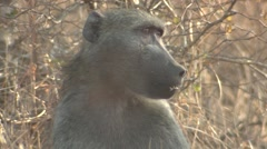 Chacma Baboon Winter Closeup Stock Footage