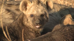 Spotted Hyena Family Winter Stock Footage