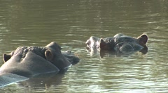 Hippopotamus Several Winter Exhale Water Spout Stock Footage
