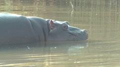 Hippopotamus Lone Diving Winter Submerge - stock footage