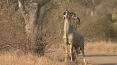 Kudu Male Adult Lone Winter Scent-marking Stock Footage