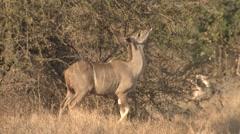 Kudu Female Lone Feeding Winter Stock Footage
