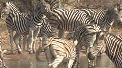 Zebra Winter Stock Footage