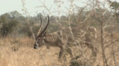 Waterbuck Male Adult Lone Walking Winter Zoom Out Stock Footage