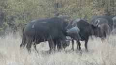 Cape Buffalo Winter - stock footage