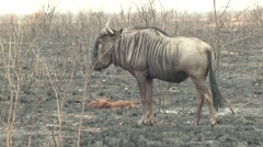 Blue Wilderbeest Adult Lone Standing Winter Fire Burned Burnt - stock footage