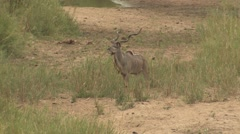 Stock Video Footage of Kudu Buck Adult Lone Standing Winter