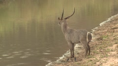 Waterbuck Male Adult Lone Standing Winter Water - stock footage