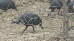 Helmeted Guineafowl Several Winter Stock Footage