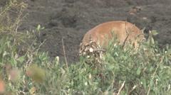 Ungulate Kruger National Park Winter - stock footage