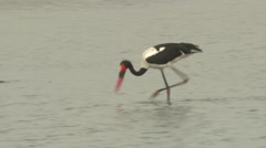 Saddle-billed Stork Winter Stock Footage