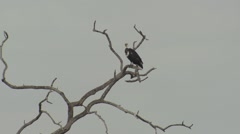 African Fish Eagle Winter Stock Footage