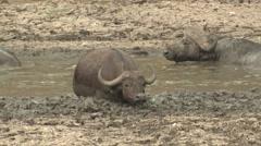 Cape Buffalo Winter Stock Footage