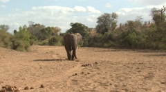 African Elephant Bull Adult Lone Walking Winter - stock footage