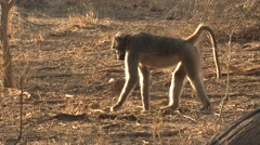 Chacma Baboon Adult Lone Feeding Winter Stock Footage